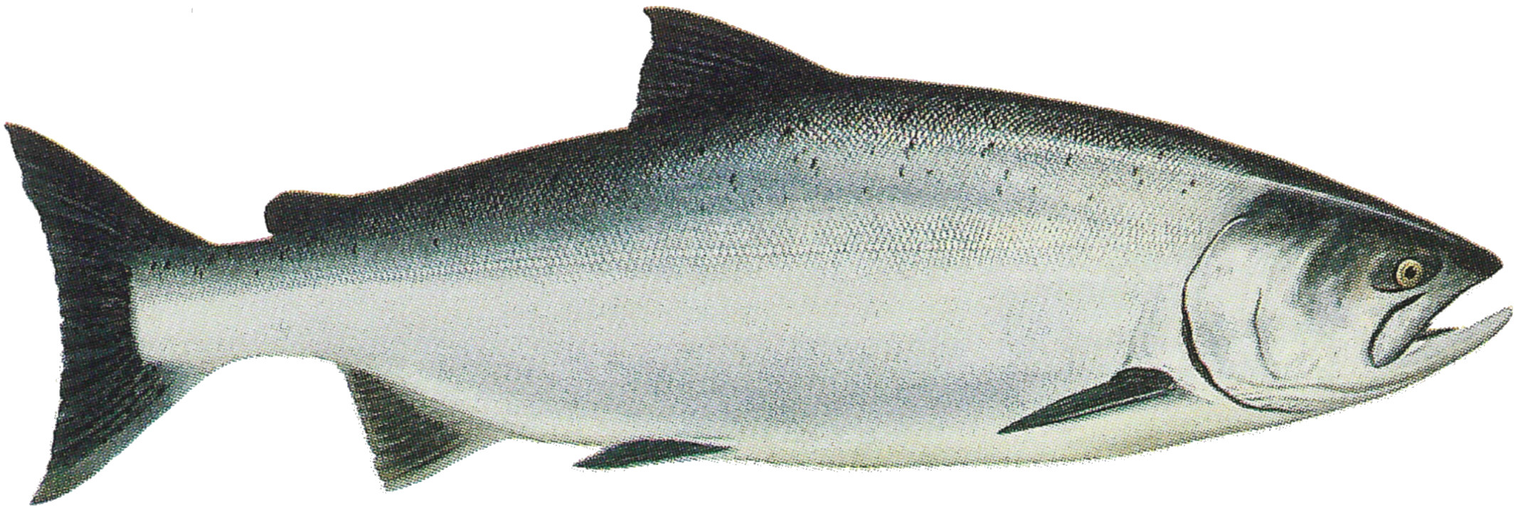 Chinook salmon edr for Chinook salmon fishing