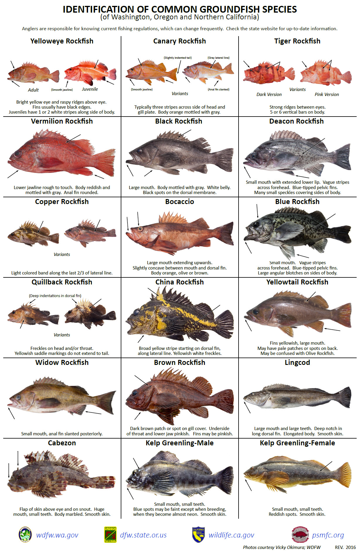 Identification of Common Groundfish Species